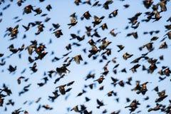 美洲红翼鸫群在飞行中在蓝天 免版税库存图片