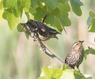 美洲红翼鸫雏鸟为食物乞求母亲 免版税库存照片