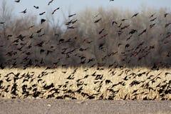 美洲红翼鸫, Agelaius phoeniceus 图库摄影