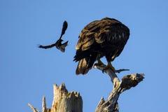 美洲红翼鸫攻击白头鹰 免版税库存照片