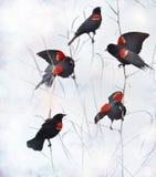 美洲红翼鸫 库存照片