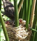 美洲红翼鸫(Agelaius phoeniceus) 库存图片