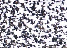 美洲红翼鸫(Agelaius phoeniceus) 免版税库存照片