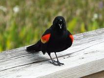 美洲红翼鸫Agelaius phoeniceus 库存图片