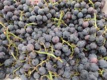 美洲葡萄'一致',康科德紫葡萄 免版税库存照片