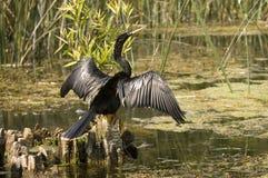 美洲蛇鸟佛罗里达沼泽 免版税库存图片