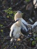 美洲蛇鸟小鸡 库存图片