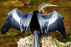 美洲蛇鸟干燥翼 免版税图库摄影