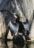 美洲蛇鸟干燥翼 库存图片