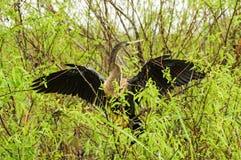 美洲蛇鸟或蛇鸟 免版税图库摄影