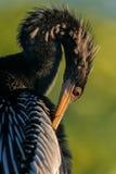 美洲蛇鸟接近 免版税图库摄影
