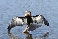 美洲蛇鸟栖息处 库存照片