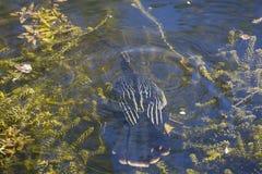 美洲蛇鸟被淹没在水下 库存照片