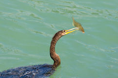 美洲蛇鸟鸟用被刺中的鱼类饲食学 库存图片