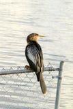 美洲蛇鸟鸟(女性) 库存照片