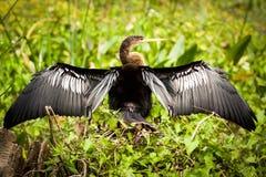 美洲蛇鸟鸟 免版税库存图片