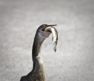 美洲蛇鸟鸟 免版税库存照片