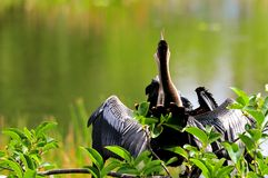 美洲蛇鸟&年轻人在沼泽地 免版税图库摄影