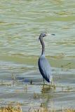 美洲蛇鸟寻找 图库摄影