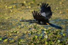 美洲蛇鸟(美洲蛇鸟美洲蛇鸟)在沼泽 库存照片