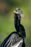 美洲蛇鸟(美洲蛇鸟美洲蛇鸟)在阳光下 免版税库存图片