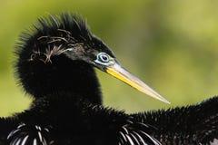 美洲蛇鸟(美洲蛇鸟美洲蛇鸟)男 免版税库存图片