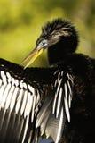 美洲蛇鸟(美洲蛇鸟美洲蛇鸟)男 库存照片