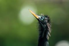 美洲蛇鸟(美洲蛇鸟美洲蛇鸟)的画象 免版税图库摄影