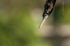 美洲蛇鸟(美洲蛇鸟美洲蛇鸟)的画象 免版税库存图片