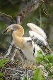 美洲蛇鸟(美洲蛇鸟美洲蛇鸟) 免版税库存图片