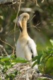 美洲蛇鸟(美洲蛇鸟美洲蛇鸟) 库存图片