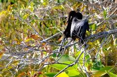 美洲蛇鸟(象鸬鹚)自夸在沼泽地 图库摄影