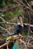 美洲蛇鸟 库存图片