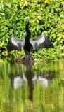 美洲蛇鸟 免版税图库摄影