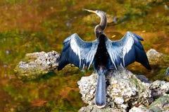 美洲蛇鸟 免版税库存照片