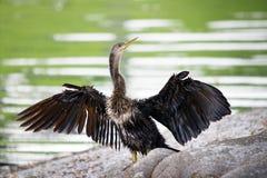 美洲蛇鸟 免版税库存图片