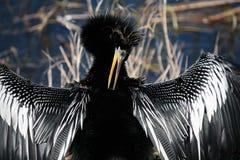 美洲蛇鸟2 库存图片