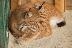 美洲野猫休眠 免版税库存照片