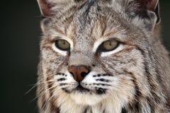 美洲野猫偷偷靠近 库存图片