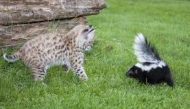 美洲野猫和臭鼬 库存照片