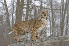 美洲野猫外套冬天 库存照片