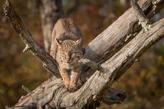 美洲野猫天猫座rufus在分支蹲下 免版税库存图片
