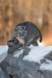 美洲野猫天猫座rufus打开日志 图库摄影