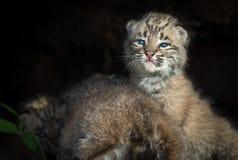 美洲野猫小猫在日志的天猫座rufus 库存照片