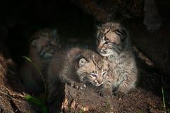 美洲野猫小猫天猫座rufus坐在日志里面 免版税图库摄影