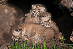 美洲野猫小猫(天猫座rufus)堆 免版税库存照片