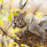 美洲野猫小猫(天猫座rufus)皮 免版税库存图片