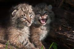 美洲野猫小猫(天猫座rufus)设法忽略哭泣的兄弟姐妹 免版税库存图片