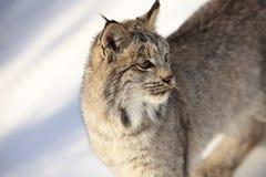 美洲野猫特写镜头画象  免版税库存照片