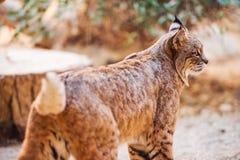 美洲野猫特写镜头 免版税图库摄影